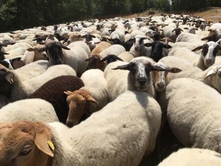 600 Schafe auf dem Weg
