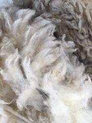 ...... und die Wolle ist Zucker