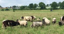 Noch mehr Schafe von Jutta