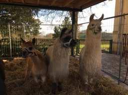 Alpakas und Lamas von der Kisselmühle