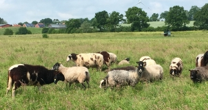 Die Schafe auf der Sommerweide. Geschoren wurde erst 1/2 Jahr später